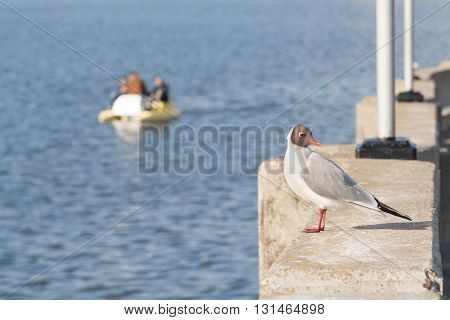 Seagull Sitting On A Concrete Wall And Looking At The Camera. Against The Background Of People Ride