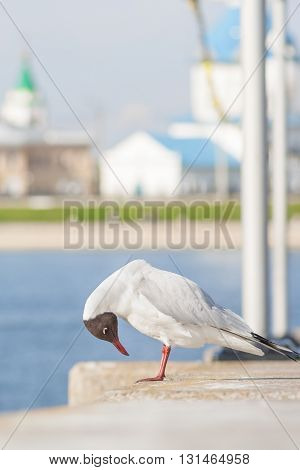 Seagull Sitting On The Concrete Fence And Looks At His Feet. In The Background Of The Church Buildin