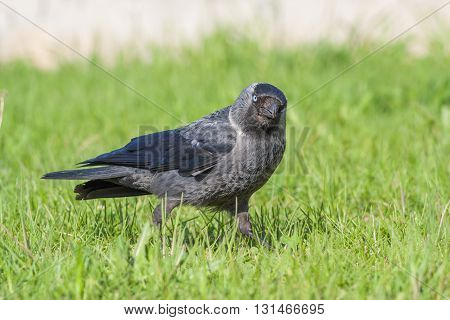 Jackdaw Is Running Away From The Photographer.