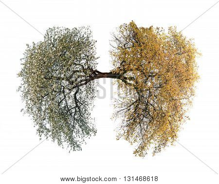 a tree lungs isolated on white. Close up