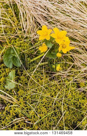 Caltha Palustris (marsh-marigold, Kingcup) - Yellow Flower.
