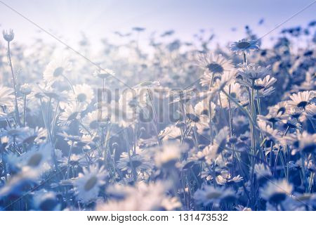 White daisies growing in the meadow. Blue tones retro.