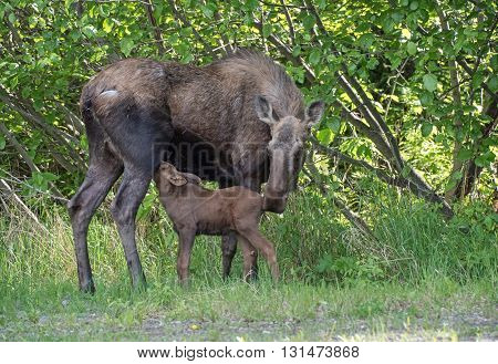 A newborn moose calf feeding on mom