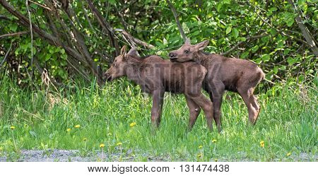 A newborn twin moose calf rests on its sibling