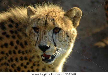 Cheetah Head Portrait