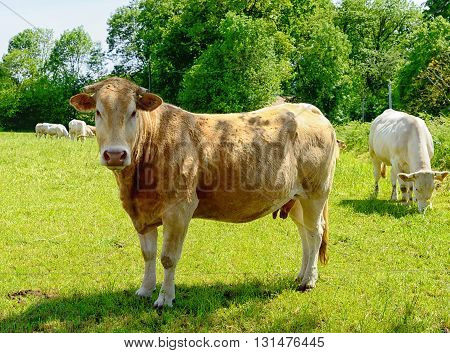 beautiful cow in the middle of a meadow