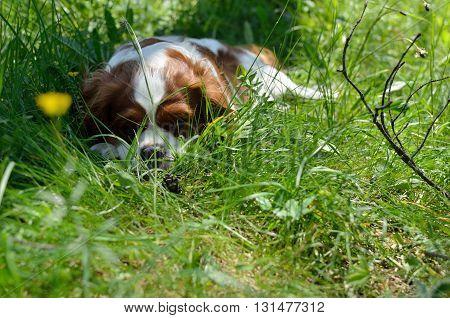 Charming Dog, Cavalier King Charles Spaniel (blenheim) After Run