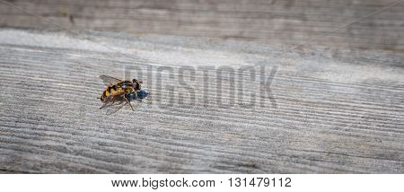 Helophilus sp. syrphid fly is a yellow striped flowerfly that looks like a yellowjacket wasp.