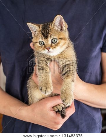 Little weary kitten British golden chinchilla ticked musingly sits on at the person hands of the dangling his paws