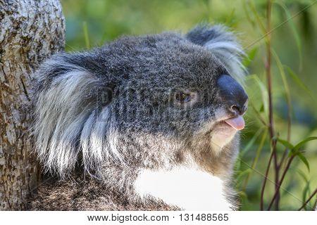 A Koala in a park in Melbourne, Victoria, Australia