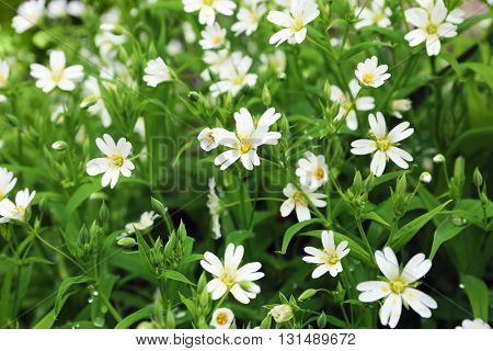Blossoming white flowers on meadow