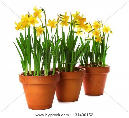 Beautiful narcissus in pots isolated on white