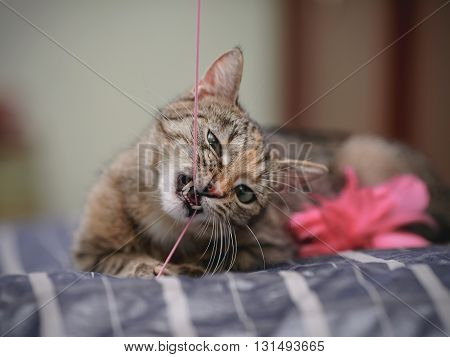 Portrait of the playing striped domestic cat.