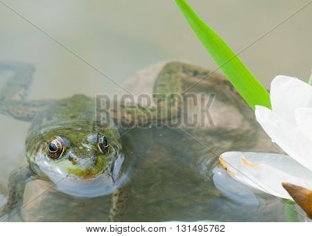 Bullfrog macro closeup in a pond in early summer.