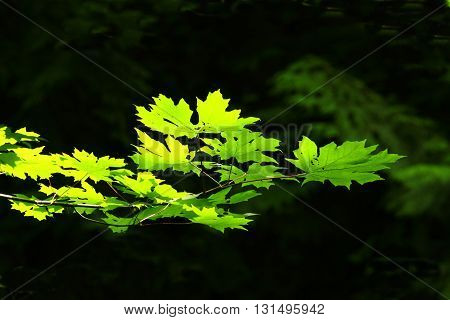 a picture of an exterior Pacific Northwest sunlit Vine maple tree  leaves in summer