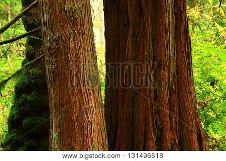 a picture of an exterior Pacific Northwest Western red cedar trees