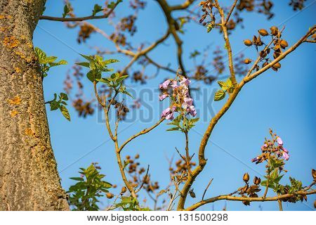 Beautiful pink tree flowers on blue sky background in Germany
