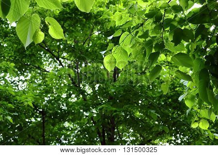 This photo shows the beautifully bright green leaves of the trees at Pretzel Park in the Manayunk borough of Philadelphia. May 2016.