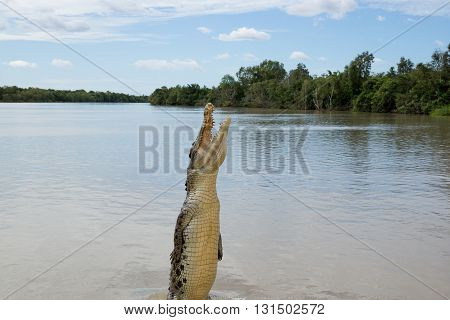 Crocodile jumping high in Adelaide River, Kakadu, Australia