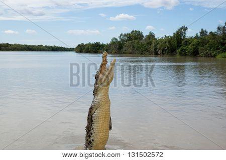 Crocodile jumping high in Adelaide River, Kakadu, Australia