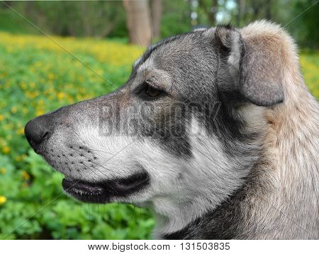Head of nice young not purebred dog in profile against blur field with yellow flowers.