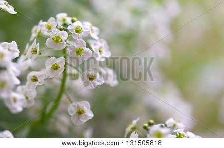Little white Lobularia Maritima flowers - sweet alyssum