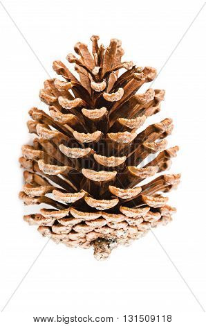 The cedar pine cone on white background