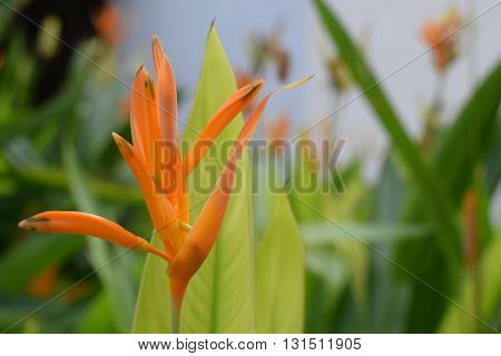 Yellow Bird of Paradise flower blooming at the garden