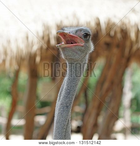 Ostrich In The Zoo