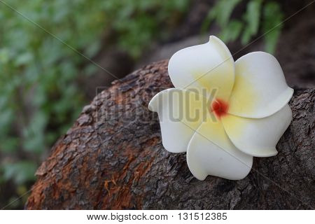 White Frangipani fallen on the bark of a tree
