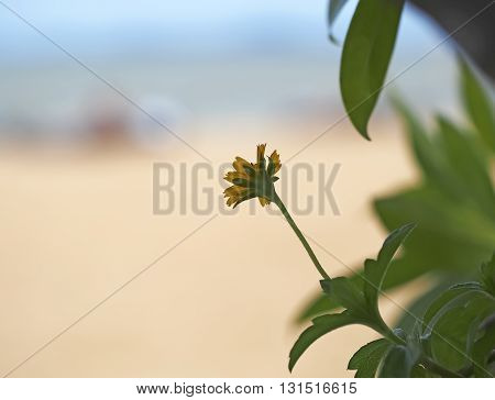 beautiful yellow mexican sunflower field on the beach
