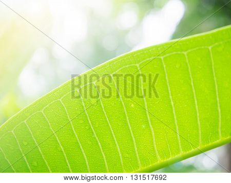 Soft and selective focus green leaf for background
