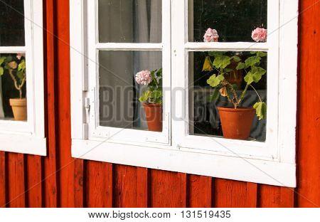 Pelargonias on a window sill
