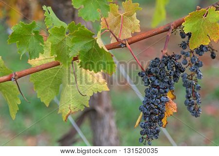 Closeup of very ripened mature wine grapes growing on limestone coast in Coonawarra winery, during Autumn in Australia