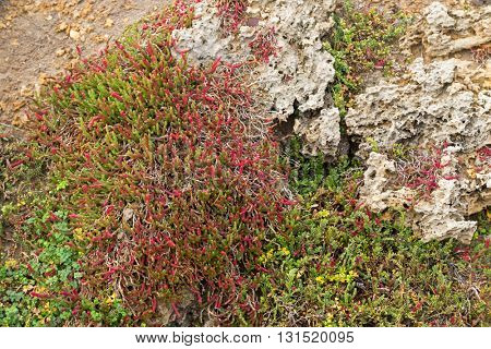 Closeup of Beaded Glasswort, salt marsh plant, growing on coastal sea cliff in Victoria, Australia