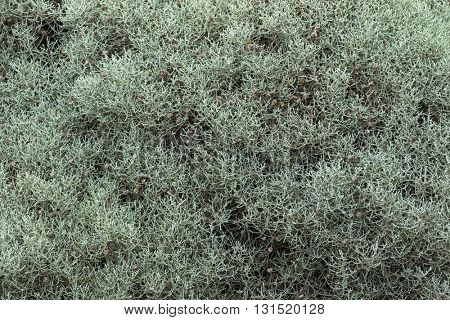 Closeup of Cushion Bush, drought tolerant plant with green gray branches and spent flower-heads growing on coastal sea cliff, Autumn in Australia