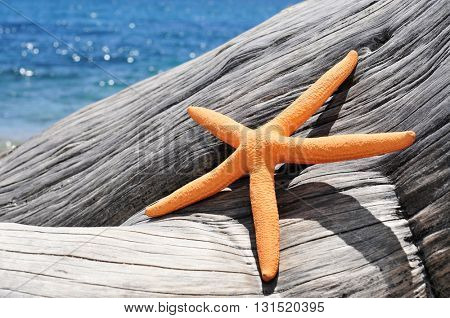 closeup of an orange starfish on an old washed-out tree trunk on the beach, with a bright blue sea in the background