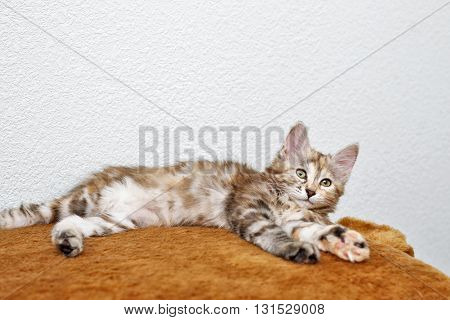 Kuril Bobtail kitten resting after a game. Thoroughbred cat. Cute and funny kitten. Pet.