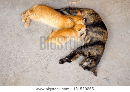 The cat feeds a kitten by mother cat