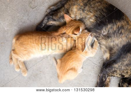 Two kittens brood feeding by mother cat