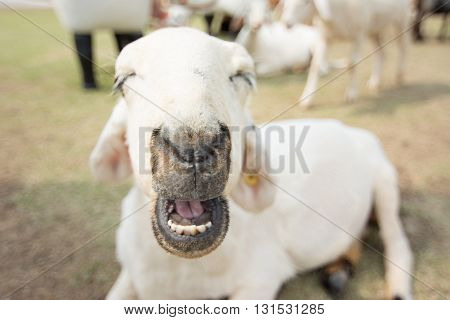 Sheep Farm In Eating Grass , Soft Focus Amd Vintage Style