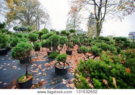 Many Black Pots With Soil And Seedlings Of Coniferous Trees And White Cedar