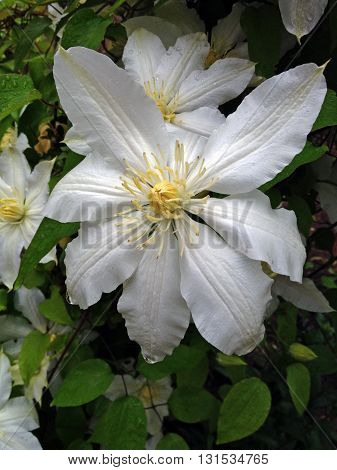 Blooming shrub with beautiful white flowers during a spring day
