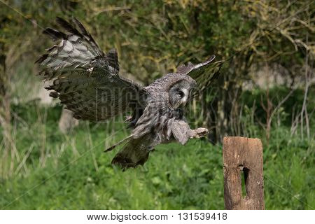 A great grey owl in flight and landing on a post with its wings outstretched