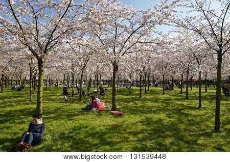 The Cherry Blossom Park