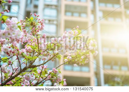 peach blossom in front of modern building