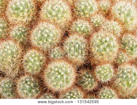 Close up of a green brown prickly cactus