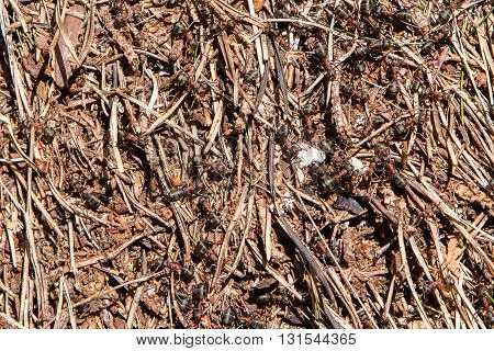 Red Ant (fire Ant) Hill