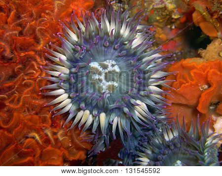 Purple Sea Anemone sounded by Fluted Bryozoan and Spiny Brittle Stars found off of central California's Channel Islands