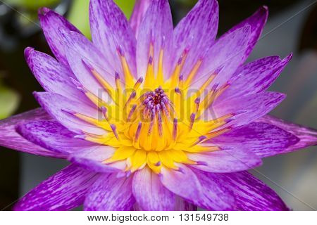 Close-up Pink Lotus flower background . .